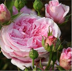 Judy's Cottage Garden: Rose Pictures - Pretty Jessica