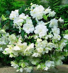 Weve seen this beautiful white hanging begonia mixed in a large urn with other white flowers and deep green foliage and the effect is pure e...