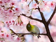 Mejiro, Japanese white eye with cherry blossoms