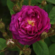 Moss Rose: Rosa 'William Lobb' (France, 1855)