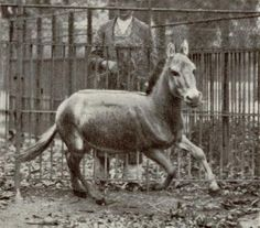 You'll Never Get a Chance to Ride These 10 Horse Breeds: Recently Extinct Horse #8 - The Syrian Wild Ass