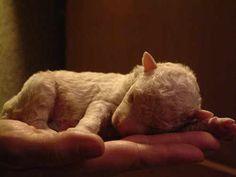 Newborn lamb.