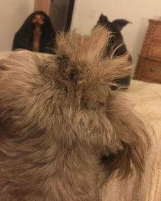Morning Mohawk & Dawn's pretty ears. #dog #instaDawn #CrowleyMan