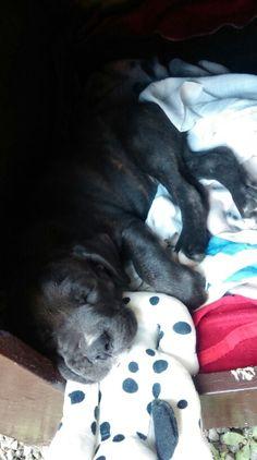 Sleeping beauty #Cane #corso #puppy #canecorso