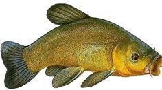 Fish Cake Birthday, Kunst Poster, Underwater Photography, Crafting, Pets, Cod, Carp, Freshwater Fish, Animal Anatomy