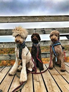 Everything About The Very Smart Poodle Pups HealthYou can find Poodle grooming and more on our website.Everything About The Very Smart Poodle Pups. Goldendoodle Haircuts, Goldendoodle Grooming, Dog Haircuts, Poodle Grooming, Dog Grooming, Poodle Haircut Styles, Poodle Cuts, Doodle Dog, Mundo Animal