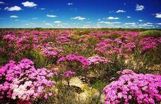 Wild Flowers at Kalbarri, Western Australia