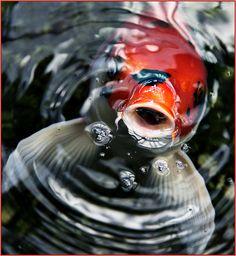 https://flic.kr/p/9dhWEg | Koi Fish...My Friends. 10.22.10 | by MarcieGonzalez on Flickr