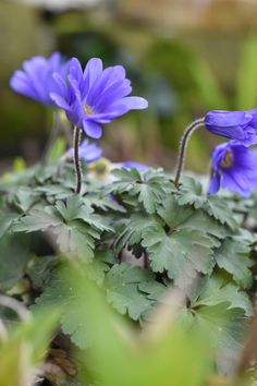 The gorgeous Anemone blanda spotted this week at Golders Hill Park in London. A sweet little spring flowering bulb its easy to grow in shade and will naturalise when it's happy. Spring Flowering Bulbs, Spring Bulbs, Plant Design, Garden Design, Mental Health And Wellbeing, Spring Starts, Hill Park, Primroses, Holistic Approach