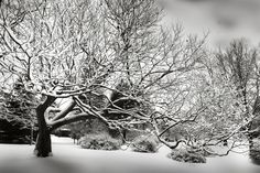 A snowy tree photographed in the last days of February