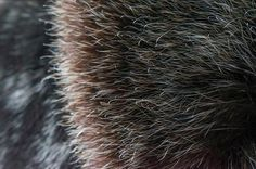 Sea Otter fur is the most dense fur on the planet with upwards of 1,000,000 hairs per a square inch. www.seafursewing.com