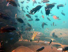 Snorkeling in Lake Malawi - Beautiful Fish - @Elissa Danforth Yachting