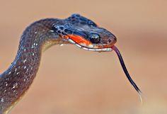 Herald snake Crotaphopeltis hotamboeia