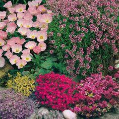Roter Mauerpfeffer garteninspiration steinpflanzen feuerschale und steingarten