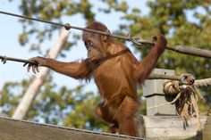 Orangutan at Durrell Wildlife Park - Planning a Jersey holiday