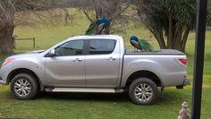 Peacocks on car