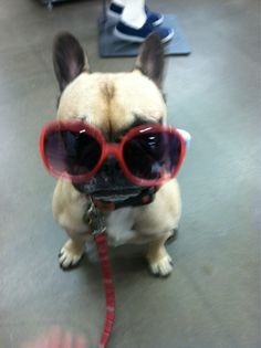Bella, the French Bulldog - sunglasses