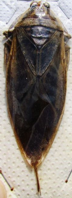 Very Odd Looking Thai Giant Water Bug Lethocerus grandis FAST SHIP FROM USA
