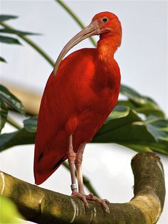 Scarlet ibis One of the most beautiful red birds Bird photography Most Beautiful Birds, Pretty Birds, Love Birds, Three Birds, Birds 2, Glass Birds, Exotic Birds, Colorful Birds, Yellow Birds