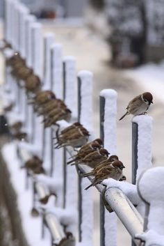 Sparrows on snow covered fence