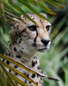 My favorite feline ~ the beautiful Cheetah Small Wild Cats, Big Cats, Cute Cats, Beautiful Cats, Animals Beautiful, Big Cat Family, Animals And Pets, Cute Animals, Baby Cheetahs