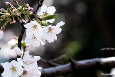 写真 染井吉野 202105 過ぎ去りし春 #写真 #photo #花 #flower