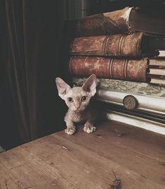 "6,760 Likes, 29 Comments - ⠀⠀⠀⠀⠀⠀⠀⠀⠀ATTITUDE CLOTHING Co. (@attitude_clothing) on Instagram: ""This Sphynx kitten!   @Thistlemilk #Sphynx #cat #cats #catsofinstagram #instacat"""