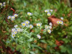 Pacific Aster  (Symphyotrichum chilense) Found in California, Oregon and Washington, this aster blooms anytime from midsummer into fall. It's fairly adaptable, growing in dry slopes to moist coastal locations and marshes. It grows 1 foot to 3 feet tall and needs a bit of room, because it spreads by rhizomes.