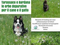 Tarassaco Bardana le erbe depurative per il cane e il gatto via @elicats