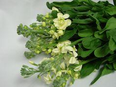 Cream stocks Cut Flowers, Wedding Flowers, Bouquet, Herbs, Fresh, Bouquet Of Flowers, Bouquets, Herb, Floral Arrangements