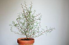 Sophora prostrata 'Little Baby'