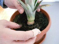 pestovanie Ananasu Gardening, Ideas, Pineapple, Lawn And Garden, Thoughts, Horticulture