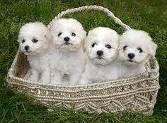 Beautiful Bichon Frise Puppies. 4 brothers