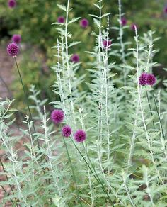 Allium sphaerocephalum (Drumstick Allium) and Perovskia atriplicifolia (Russian Sage)