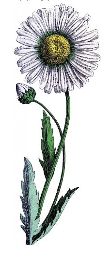 Vintage Daisy Download! - The Graphics Fairy