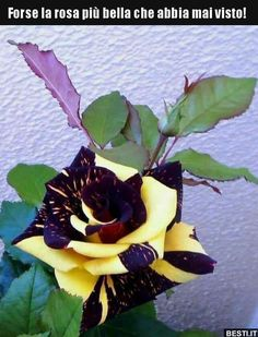 """Sin olor no hay flor completa. Beautiful Rose Flowers, Unusual Flowers, Unusual Plants, Rare Flowers, Amazing Flowers, Rare Roses, Purple Roses, Purple Yellow, Flower Pictures"