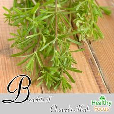 The Benefits Of CLeavers Herb - Cleavers herb contains many health-boosting properties, such as anti-inflammatory, diuretic, and febrifuge abilities. https://healthyfocus.org/benefits-of-cleavers-herb/?utm_content=bufferb1bd7&utm_medium=social&utm_source=pinterest.com&utm_campaign=buffer