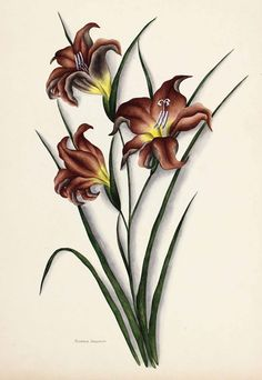 Flowers of South Africa, Cape Peninsula, Private portfolio, unknown artist. Big Flowers, Colorful Flowers, African Flowers, Gladiolus, Botanical Prints, Mobile Wallpaper, Botany, Trees To Plant, Bellisima