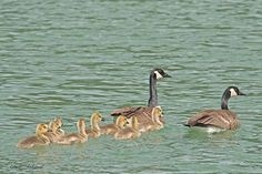 As we move toward summer, new families are forming. In this case two geese are raising eight goslings. Amar