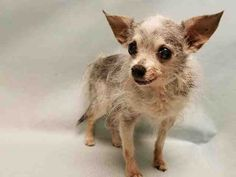 CHULLY – A1117835    NEUTERED MALE, WHITE / BLACK, CHIHUAHUA LH MIX, 12 yrs  STRAY – ONHOLDHERE, HOLD FOR ID Reason STRAY  Intake condition GERIATRIC Intake Date 07/07/2017, From NY 10457, DueOut Date 07/12/2017,