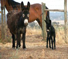 Donkeys at Herdade São Miguel, Alentejo - Portugal  Beside winemaking we care also with the process involved. Na Herdade de São Miguel também nos preocupamos com outras coisas para além do vinho. www.earthfriendlywinery.pt