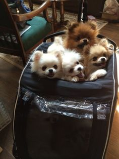 Delightful Comical And Sweet Pomeranian Ideas. Charming Comical And Sweet Pomeranian Ideas. Cute Baby Animals, Animals And Pets, Funny Animals, Spitz Pomeranian, Pomeranians, Chihuahuas, Samoyed Dog, I Love Dogs, Cutest Animals