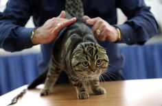An expert examines a Scottish Fold cat during a cat exhibition in Kiev, Ukraine, November 16, 2014.The exhibition for cat lovers runs from November 15 to 16. (EPA/TATYANA ZENKOVICH)