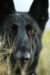 GSD-Black Dog
