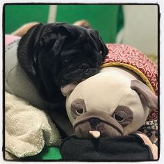 She found a good arranged pillow. . 現在の 二度寝ゲージ 25% . #えぇあんばいのマクラみつけたもよう . March.10.2018 #パグ #犬 #黒パグ #犬バカ部 #dog #blackpug #blackpugsofinstagram #pug #pugs #mops #pugsofinstagram #pugstagram #puglife #puglove #instapug #blackpugstagram
