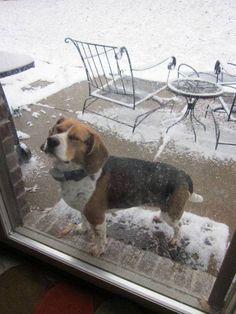 Lemoore, CA Husky/Bull Terrier Mix. Meet Commet, a dog