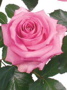 rose reviva lpicture - Google zoeken