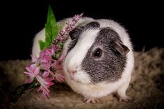 😍😍😍 Animals And Pets, Cute Animals, Guniea Pig, Cute Piggies, Cute Photos, How To Stay Healthy, Pigs, Physical Exercise, Hamsters