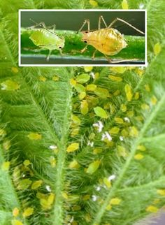 Afide Manado, Plant Leaves, Nature, Plants, Beekeeping, Naturaleza, Plant, Natural, Planting