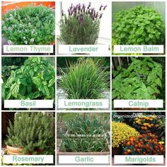 stuff to plant that mosquitos hate